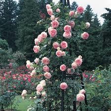 hoa hồng leo loại bán leo