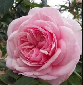 Hoa hồng bụi cổ vân khôi loại 1