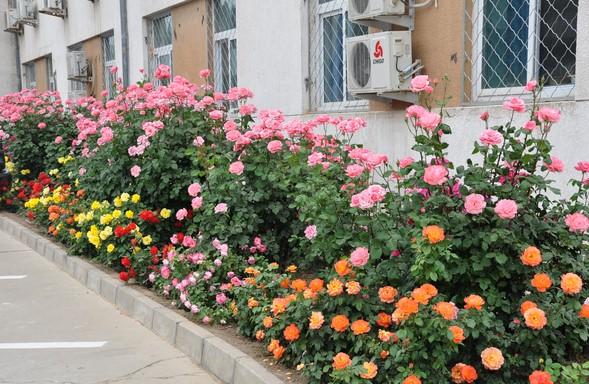 Các loại hoa hồng bụi đẹp
