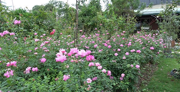 Hoa hồng quế tại việt nam
