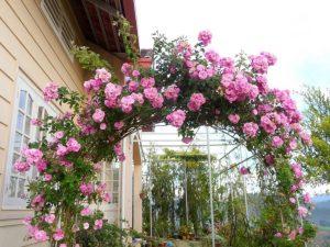 hoa hồng léo loại siêu leo