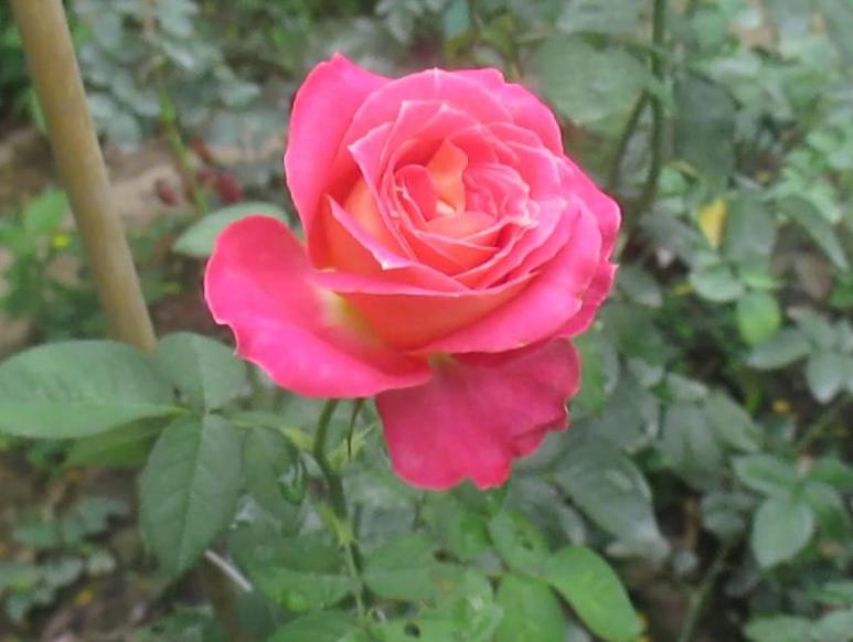 hoa hồng da sa đéc