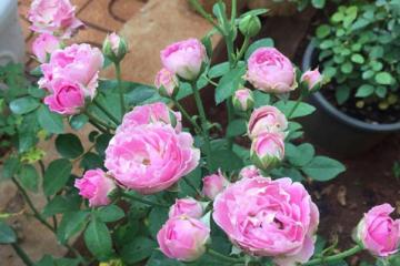 Hoa hồng bụi