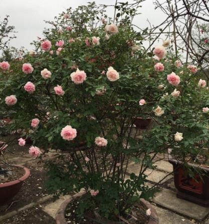 hoa hồng bụi cổ loại 1