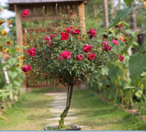 Hình ảnh các loại hồng Tree rose Quế đỏ