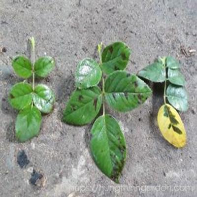 Một số loại bênh thường gặp khi mới trồng hoa hồng