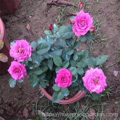 cách chăm sóc hoa hồng cho người mới bắt đầu
