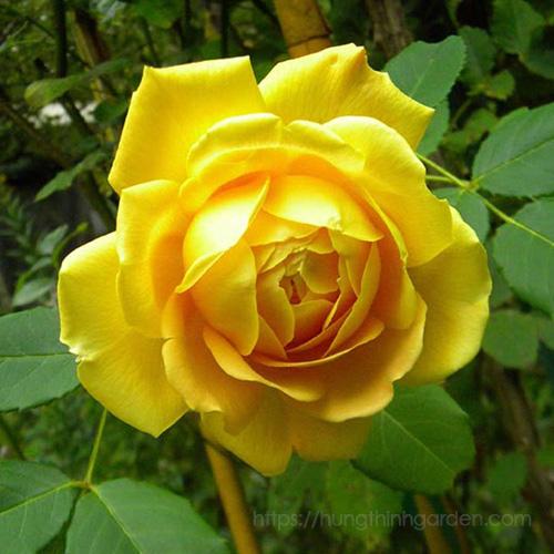 ý nghĩa hoa hồng theo màu vàng