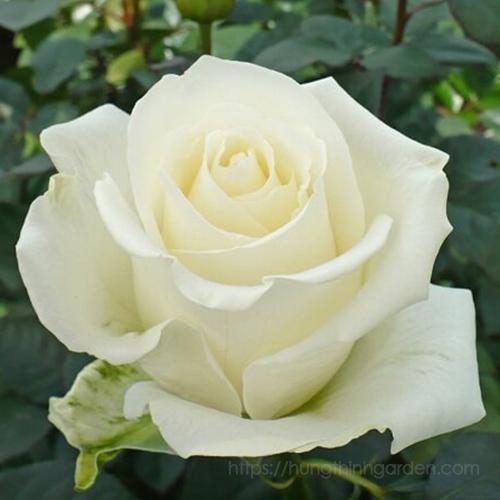 thông điệp màu sắc của hoa hồng bụi