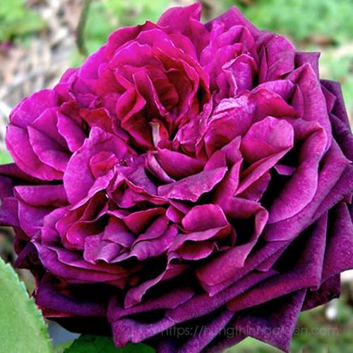 ý nghĩa màu sắc hoa hồng