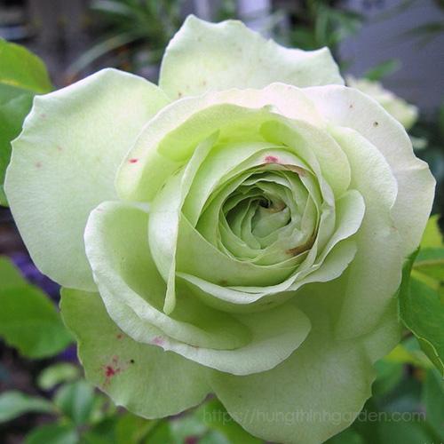 HOA HỒNG XANH LOVELY GREEN