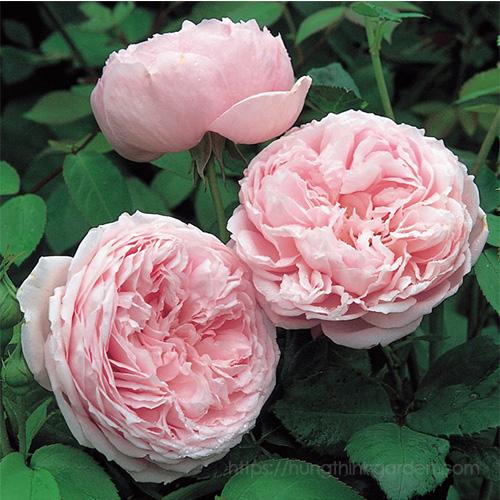ngôn ngữ hoa hồng theo màu sắc