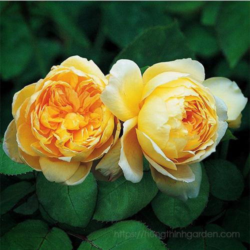 ý nghĩa hoa hồng theo màu vàng nhạt